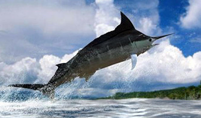 Black Marlin jumping in Kona