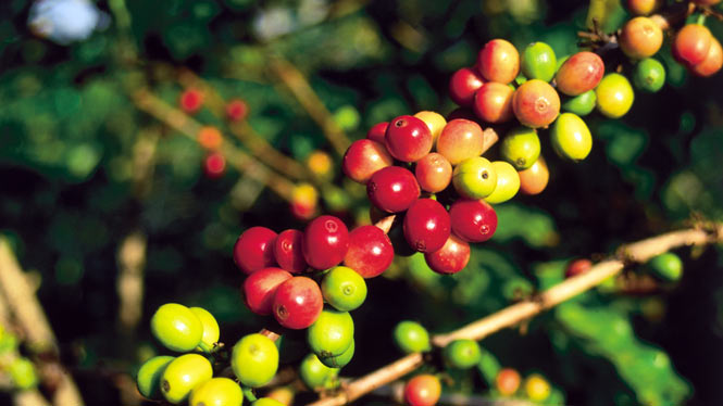 Hawaiian coffee beans on the stem