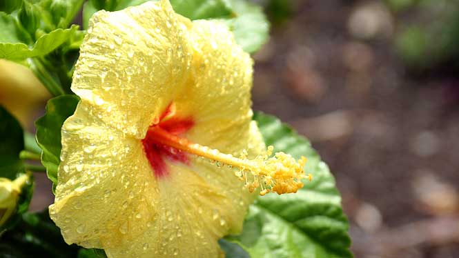 Hawaii's official flowers are as diverse and beautiful as the ...