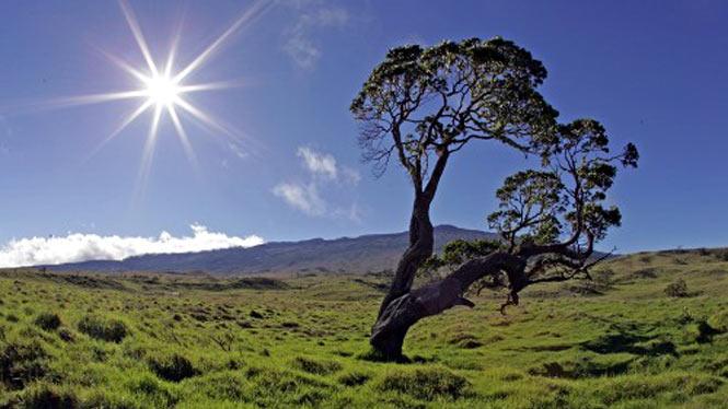 a loan Koa tree