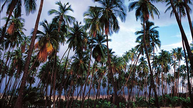 coconut trees on molokai