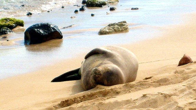Hawaiian monk seal enjoying a quiet Niihau beach