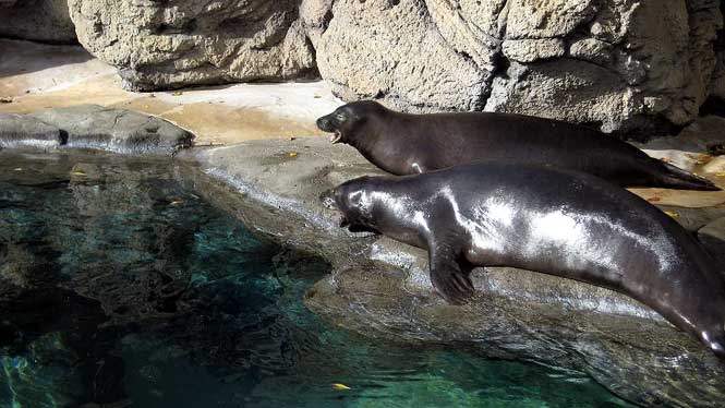 Hawaiian monk seals at the Waikiki Aquarium
