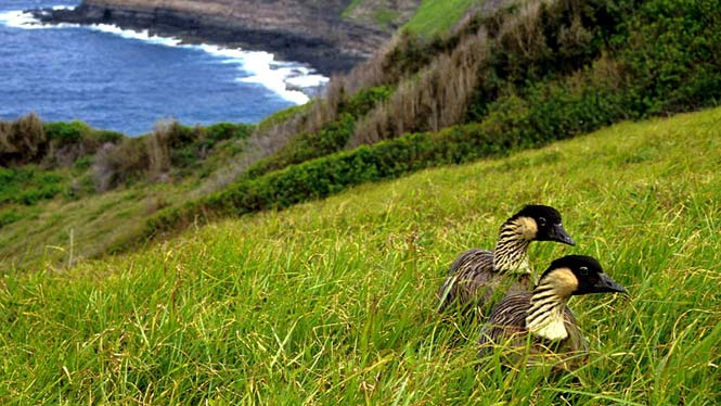Nene laying in grass overlooking ocean