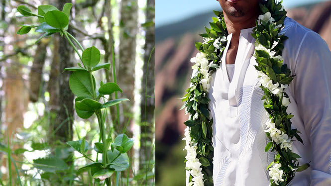 The maile lei is for memorably occasions.