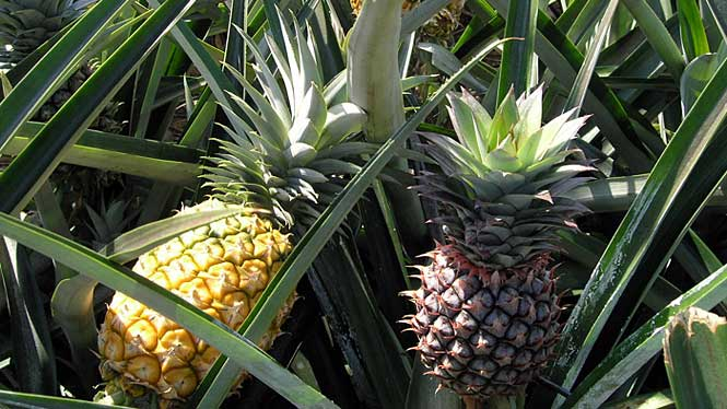About Lanai Pineapple