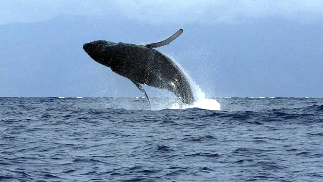Maui Whale Watching