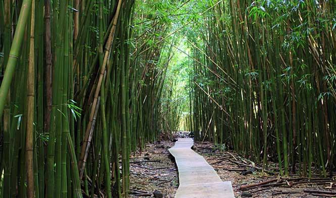 Bamboo forest Hana