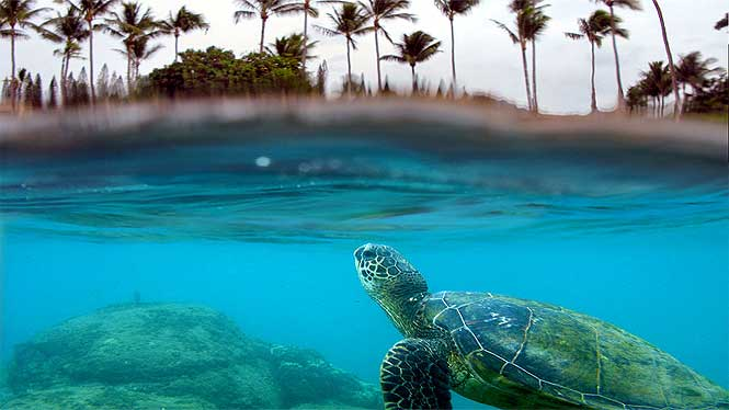 Turtle swimming off the coast of Maui