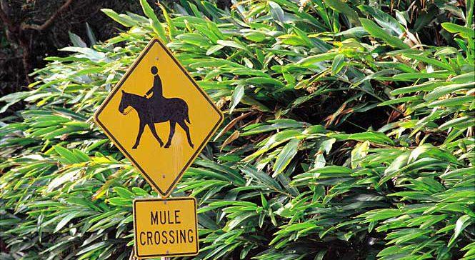 Molokai mule crossing