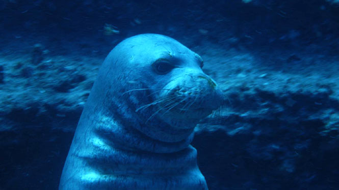 underwater up close to a Hawaiian Monk Seal off of Niihau