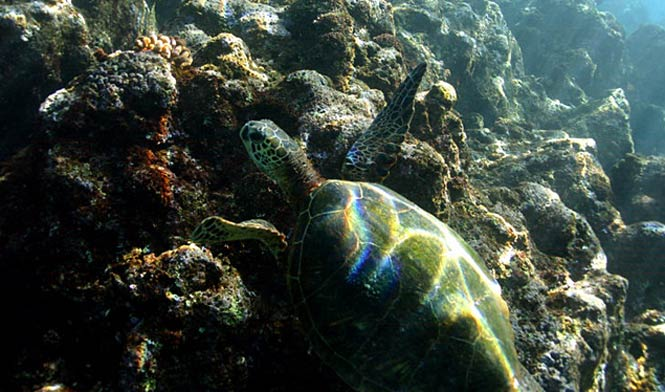 Swim with the turtles of the Napali coast