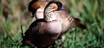 up close of two Nene Goose