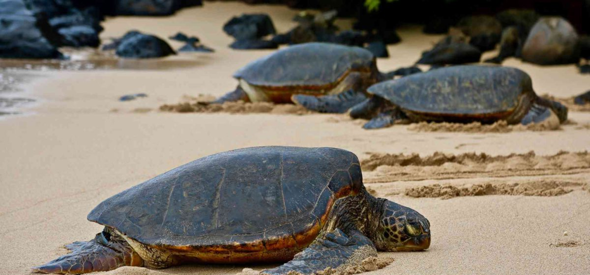 Seaturtles laying on the beach is another one of Mauis destinations to see